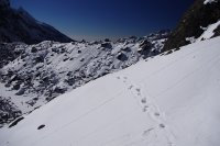 Tracks of a snow leopard on the Goecha La in Sikkim