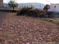 Saffron fields in Herencia