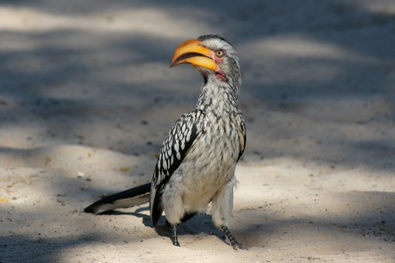 Yellow hornbill, looking for food, our food, it had stones thrown at it just after this photo was taken