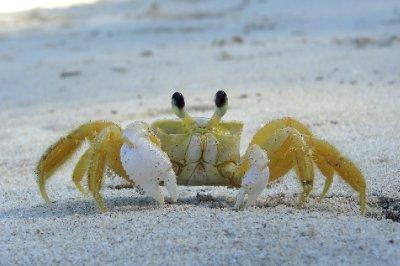 Crabe - Plage de Trindade