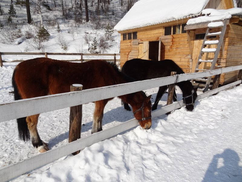 Les chevaux sibérien