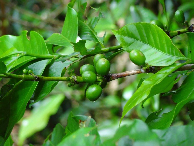 Grains de café par encore mures sur l'arbre