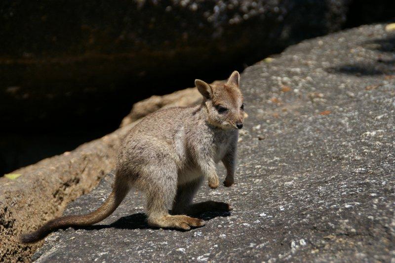 Bébé wallaby!