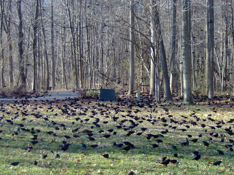 So many birds in the frontyard at once! Harwood, MD
