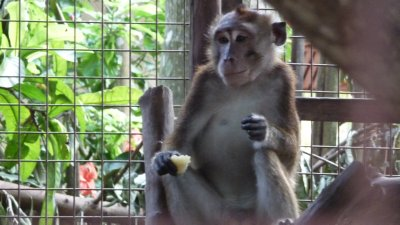 Monkeys at the Golden Monkey Cottages