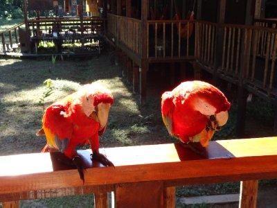 Pérou, Centre de recherche Tambopata, visiste des chicos (scalet macaw elevé par les scientistes il y a 20 ans) durant le déjeuné