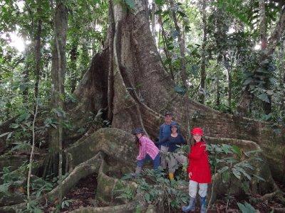 Pérou, Centre de recherche Tambopata, Ficus gigantesque