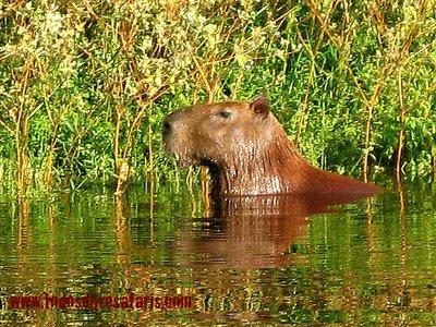 capibara_2.jpg