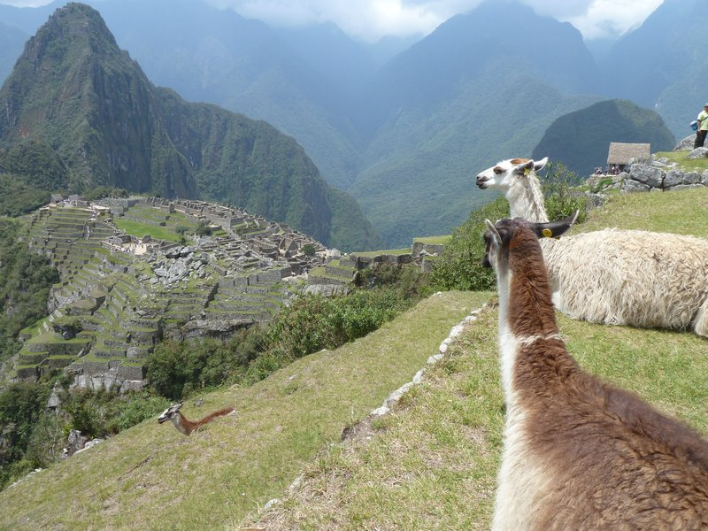 Llama on Machu Picchu (before the girls stradeled it)