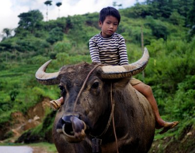 Vietnam is buffalo country