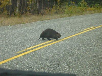 I think its a beaver!