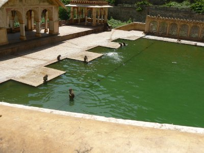 Swimming monkeys!