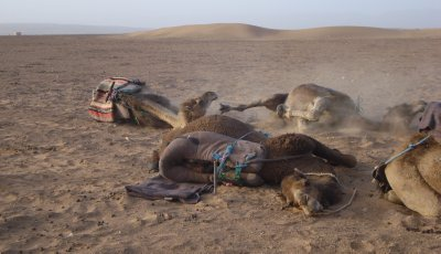 Camels diggin' in the sand to rest for the night