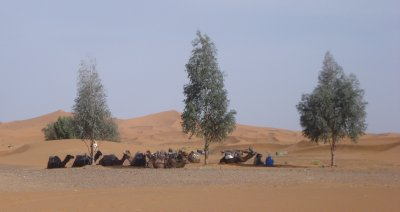Our camels relaxing in the shade before our sunset journey