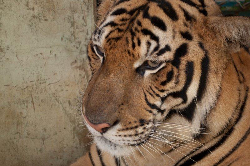 large_Tiger_Kingdom-25.jpg