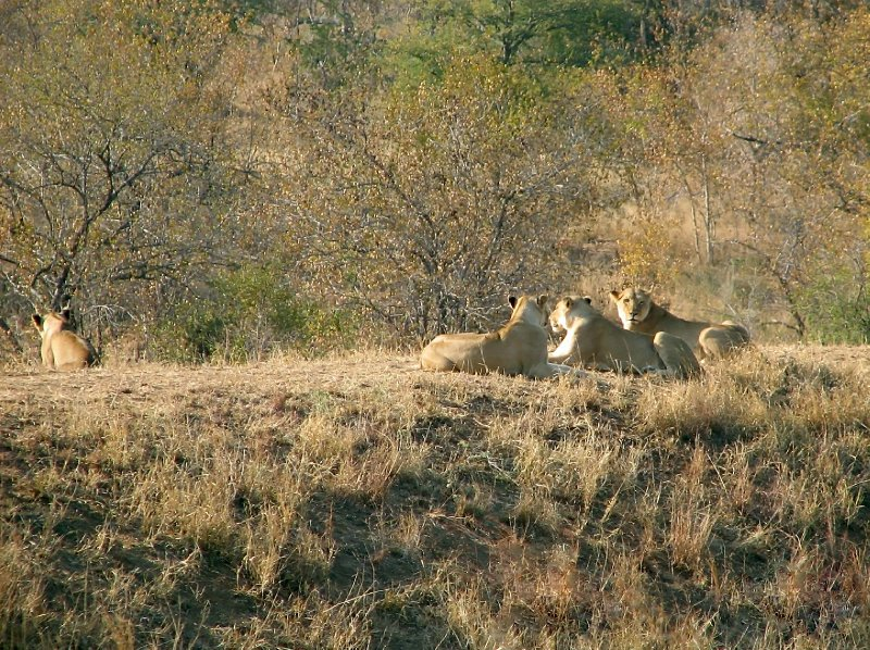 Female lions have spotted a prey - and the tourists otherside.