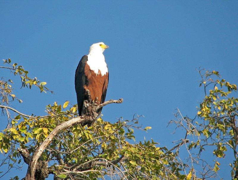 Eagle guarding her/his kindom.