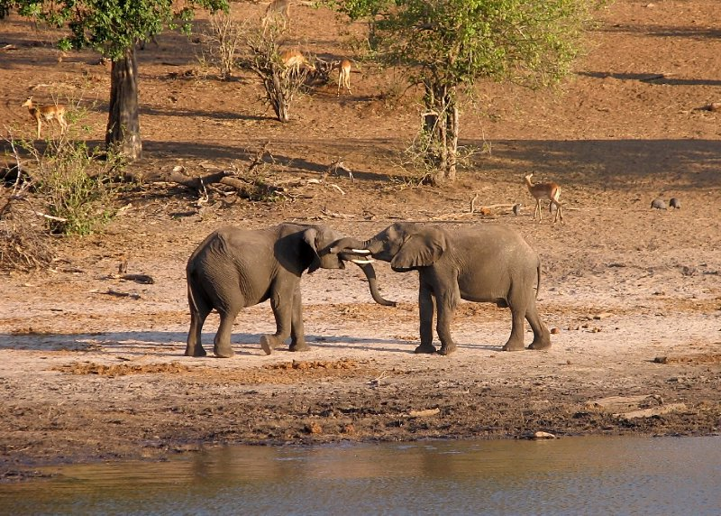 Young elephants testing their strenghts