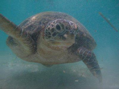 Perhentian_turtle.jpg