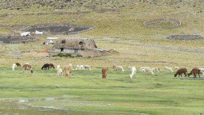 Llamas & farm house