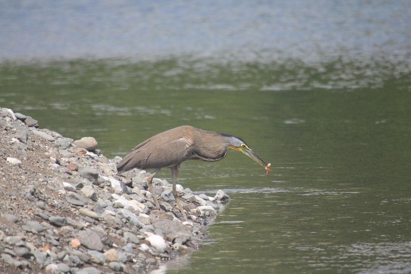 Lunch time for a heron