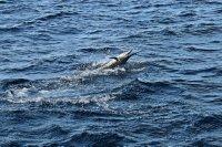 Bob's sailfish
