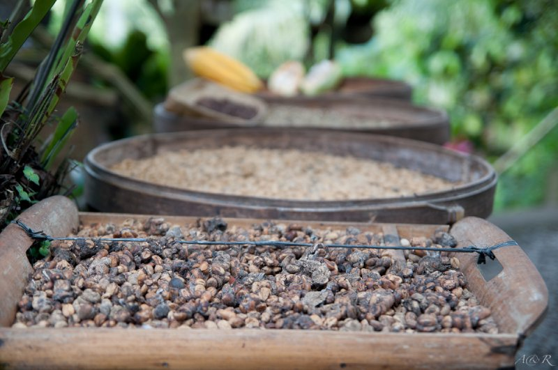 Civet droppings for extraction of fermented coffee beans