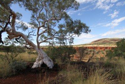 Snappy Gum Tree, Dales Gorge, Karijini NP