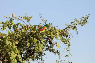 Red Winged Parrot in the Oscar Ranges