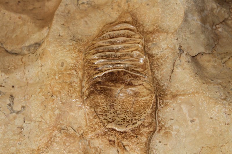Nautiloid fossil in the walls of the Windjana Gorge