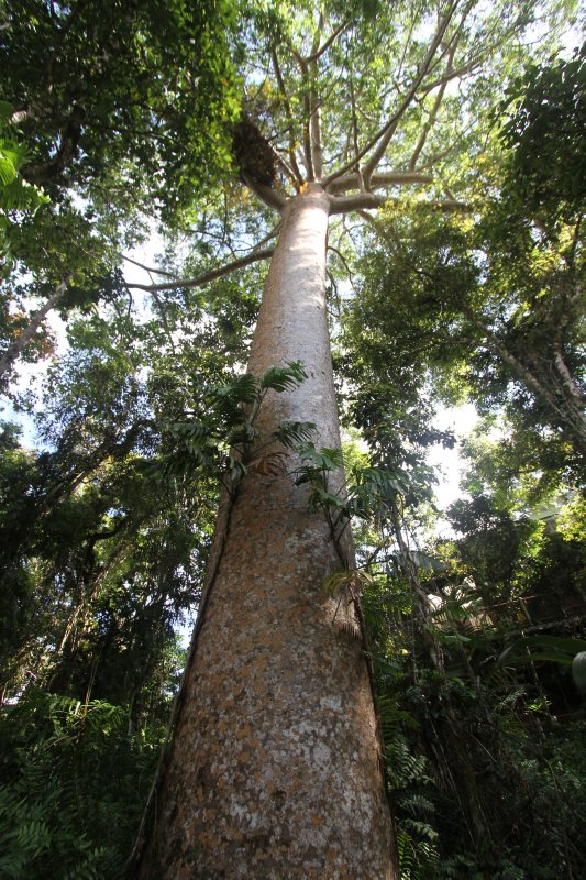 400 Year old Kauri Pine