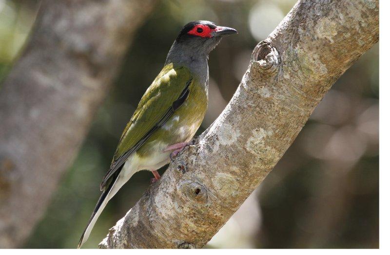 Australasian Green Figbird