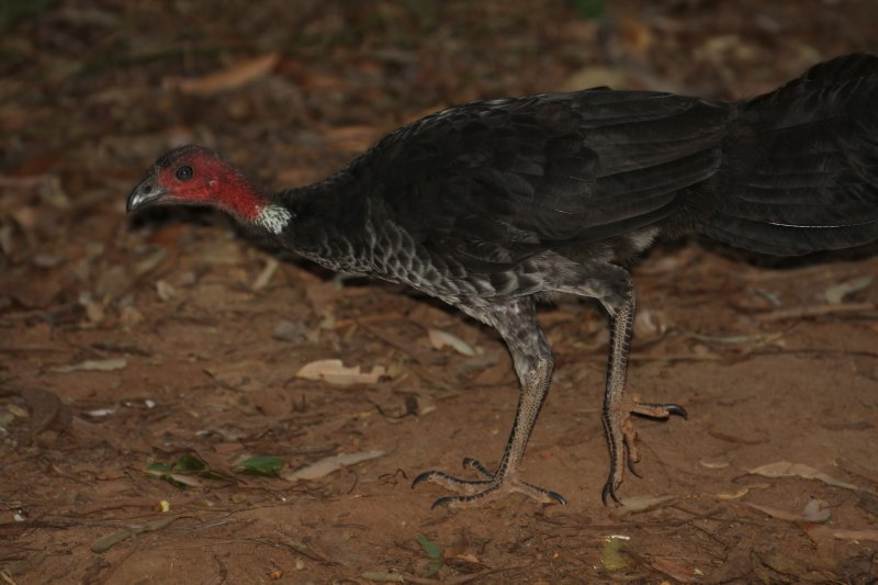 Australian Brush Turkey
