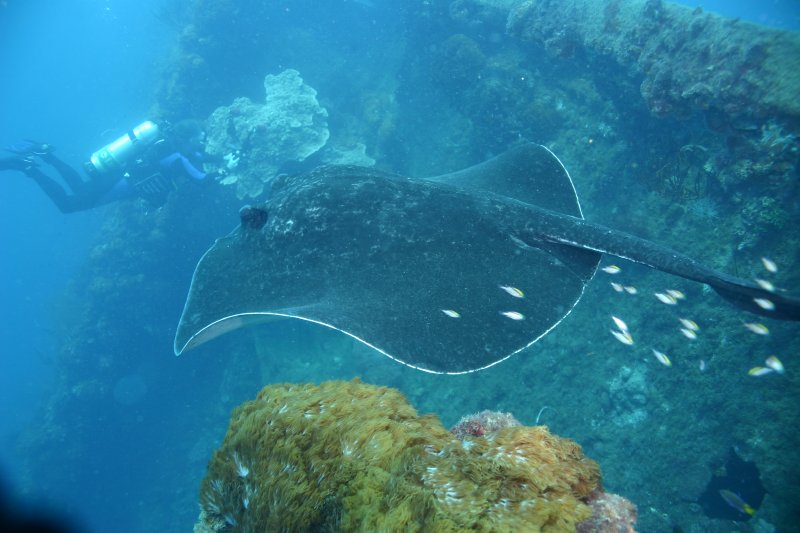 Black-blotched Stingray gliding over the wreck