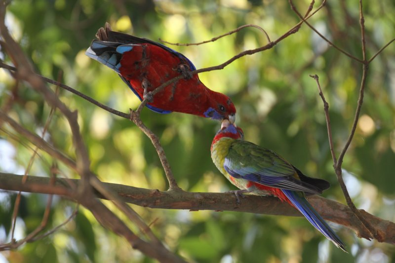 Crimson Rosella feeding its young