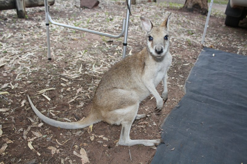 Curious Skippy at KAtherine Gorge campsite