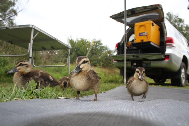 Cute ducklings visiting our campsite