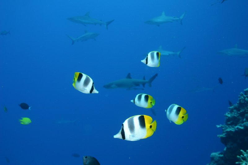 Double-saddled butterfly fish with sharks in the background
