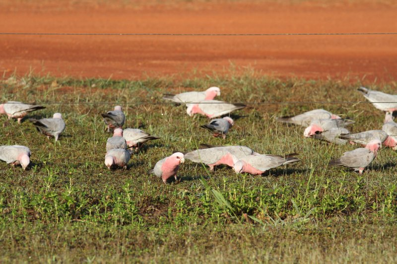 Galahs at Drysdale River Station