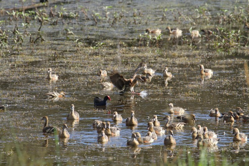 Jacana and ducks on Hasties Swamp