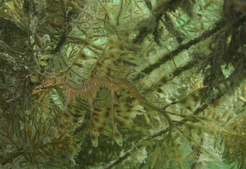 Juvenile Leafy Sea Dragon