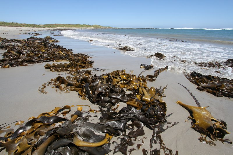 Kelp on Stinking Beach