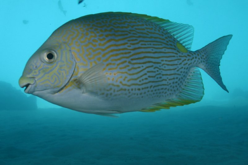 Lined Rabbitfish
