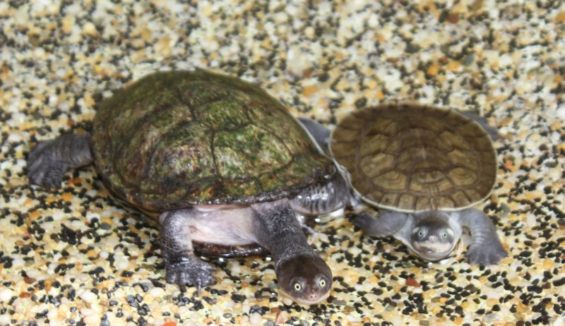 Long neck turtles