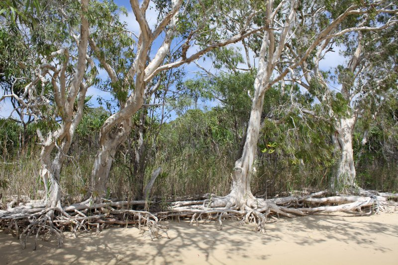 Paperbark trees on the beach