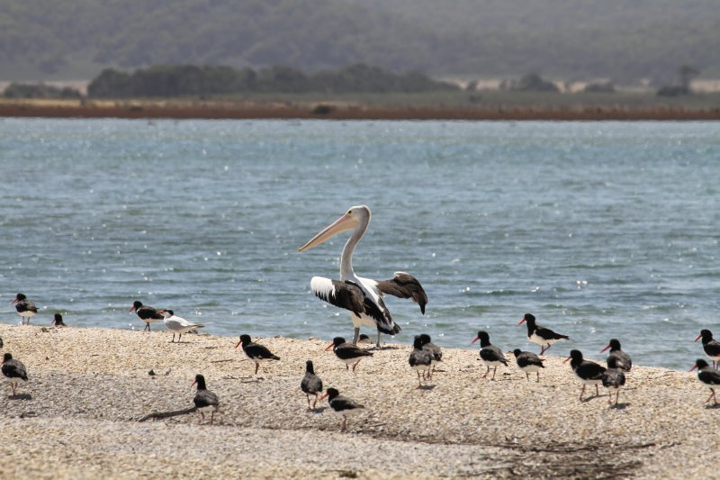Pelican, oyster catchers and a tern