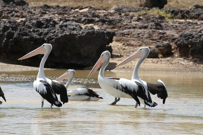 Pelicans on the Flinders River