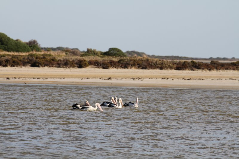 Pelicans on the Coorong