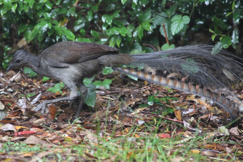 Superb Lyrebird scrubbing for worms