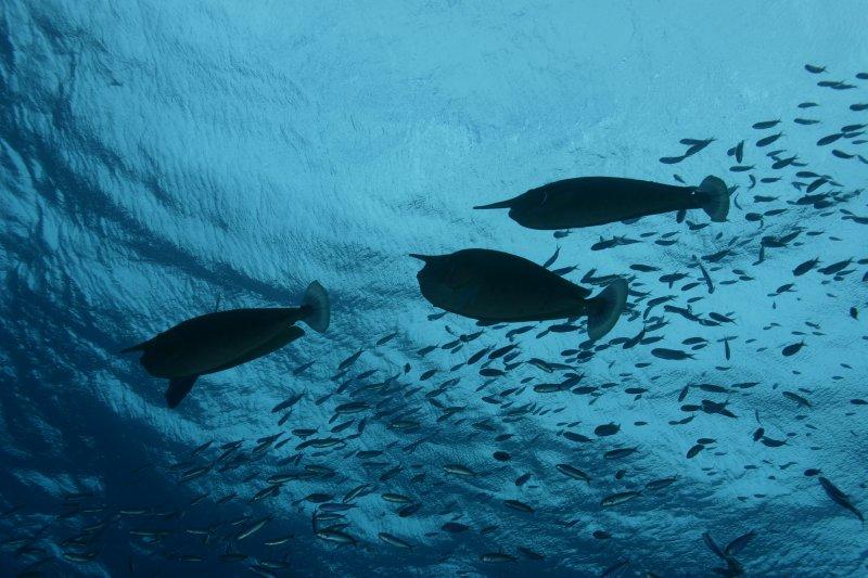 Unicornfish  silhoutte